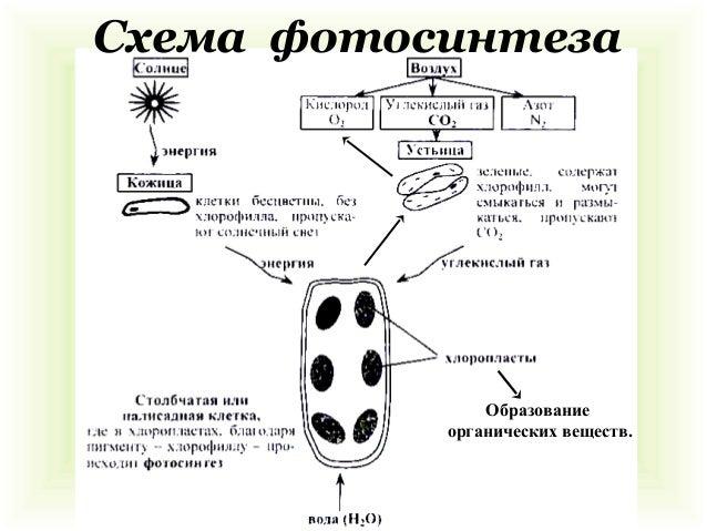 Размножение; 10. Схема