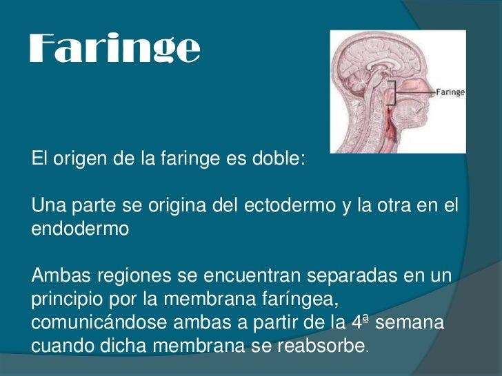 Faringe<br />El origen de la faringe es doble: <br />Una parte se origina del ectodermo y la otra en el endodermo<br />Amb...