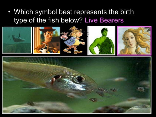 • Which symbol best represents the birth type of the fish below? Live Bearers