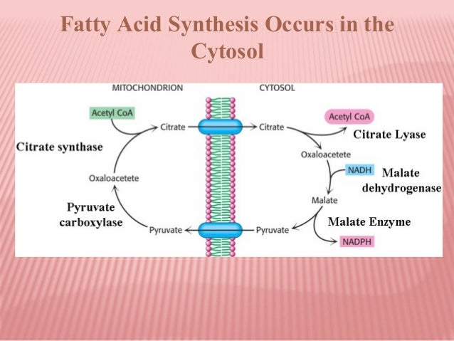 fatty acid sythesis