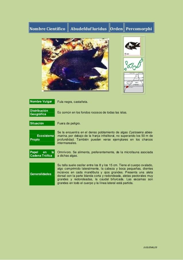 Nombre Científico  Abudefduf luridus Orden Percomorphi  Nombre Vulgar  Fula negra, castañeta.  Distribución Geográfica  Es...