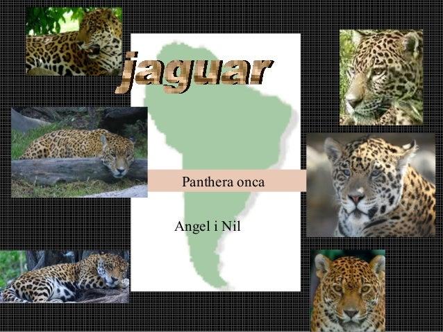 Panthera oncaAngel i Nil