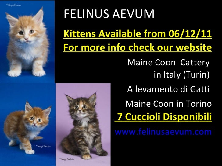 FELINUS AEVUM Kittens Available from 06/12/11 For more info check our website Maine Coon  Cattery  in Italy (Turin)  Allev...