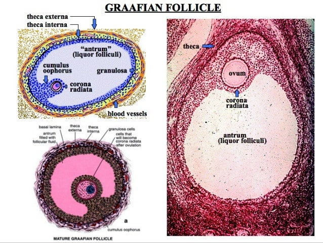 Primordial Follicles Histology a Primordial Follicle Into
