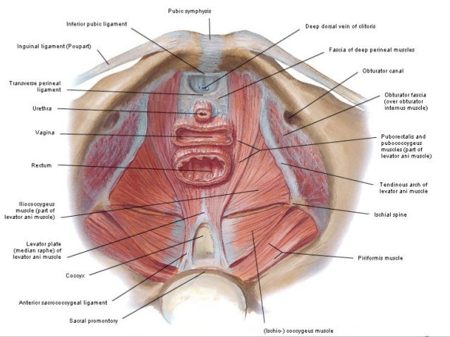 Diogram of a female sex organ