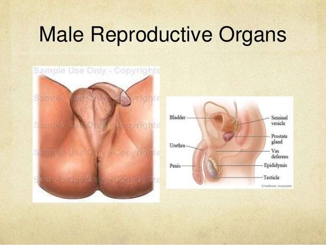 Reproductive organs system female