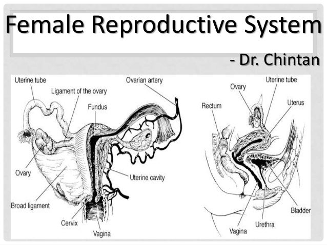 Fe male reproductive system