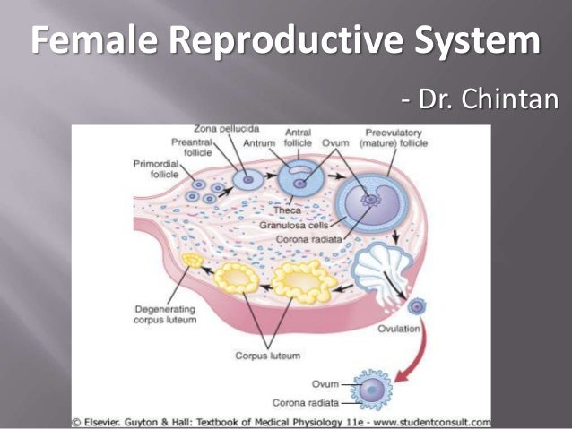 Fe male reproductive system 2