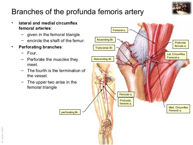 Medial Circumflex Femoral Artery medial circumflex femoral