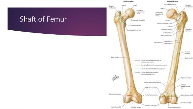 Supracondylar femur anatomy