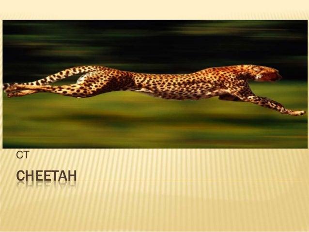 Fennelly cheetah