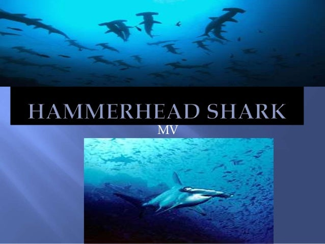 Fennelly hammerhead shark