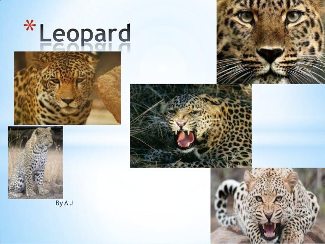 Fennelly leopard