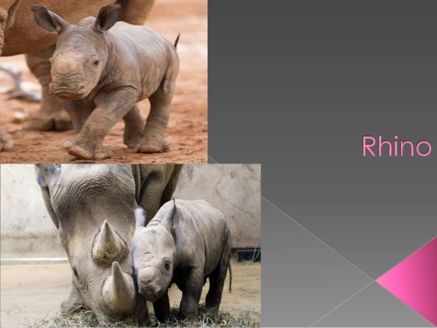  There are five types of rhinos Black rhinos live in herds They live in Africa Babys stay close to their moms Babys n...