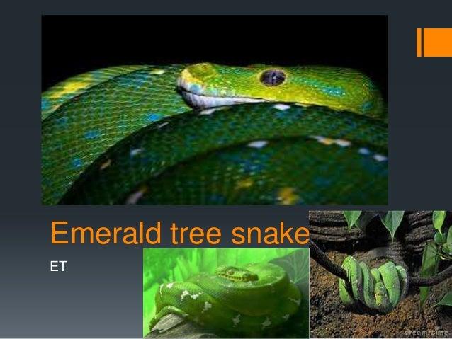 Emerald tree snakeET