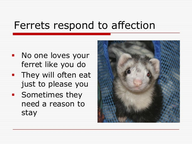how to convince your parents to get a ferret