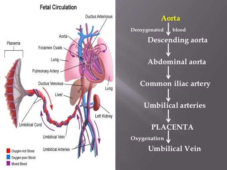 The Anus As Second Mouth Sea Cucumber likewise Fetal Circulation Pathway also 75787206205677266 likewise Rapid Sand Filter For Swimming Pool 1792147944 also Hemodynamics. on easy circulatory system diagram