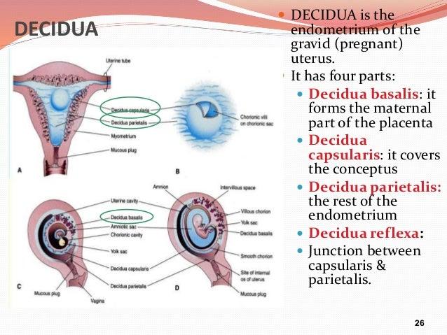during pregnancy uterine decidua synthesises