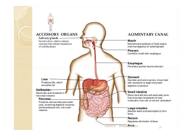 Final digestive system.