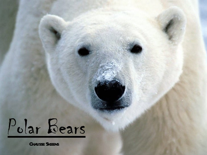 Polar Bears   Chaisse Skeens      l