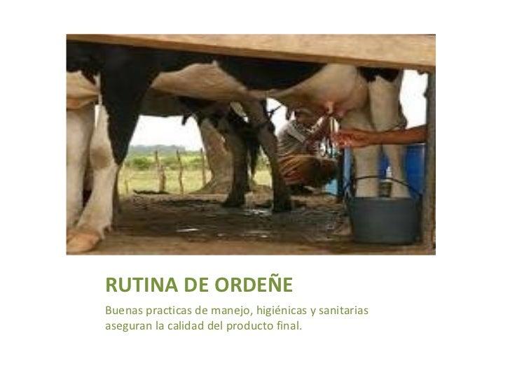 RUTINA DE ORDEÑE <ul><li>Buenas practicas de manejo, higiénicas y sanitarias aseguran la calidad del producto final. </li>...