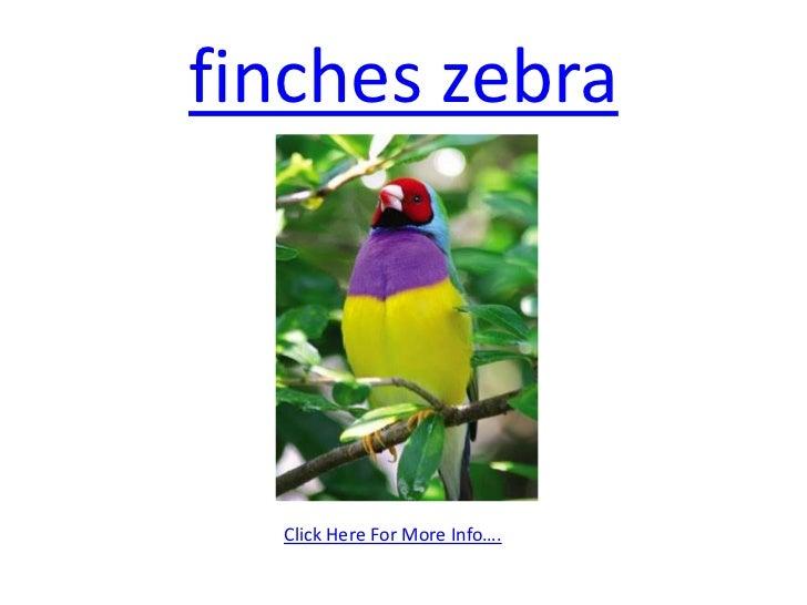 finches zebra <br />Click Here For More Info….<br />