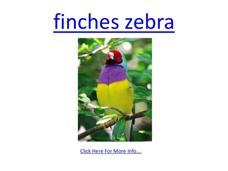 finches zebra <br />Click Here For More Info….<br />