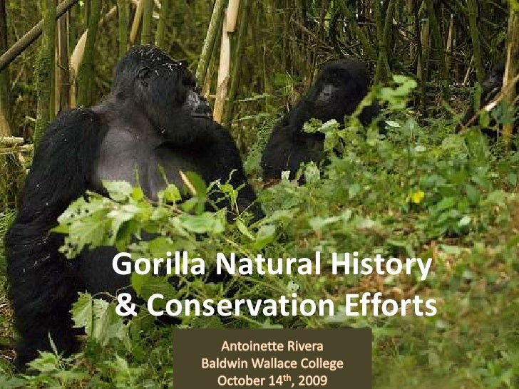 Gorilla Natural History & Conservation Efforts<br />Antoinette Rivera<br />Baldwin Wallace College <br />October 14th, 200...