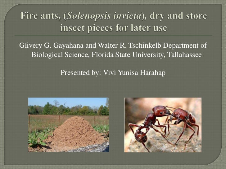 Fire ants, (solenopsis invicta), dry and store pieces of insect for later use (vivi yunisa harahap)