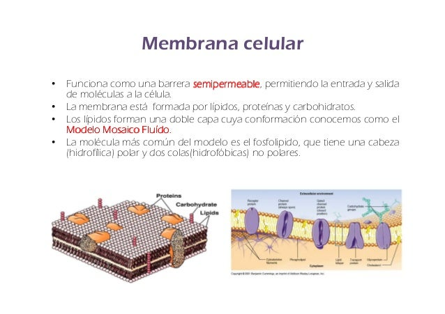 Fisiolog a de la membrana celular for Pared y membrana celular