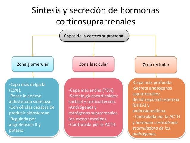 Síntesis y secreción de hormonas corticosuprarrenales Capas de la corteza suprarrenal Zona glomerular -Capa más delgada (1...