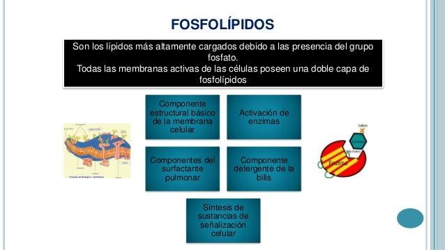 Doble Capa de Fosfolípidos