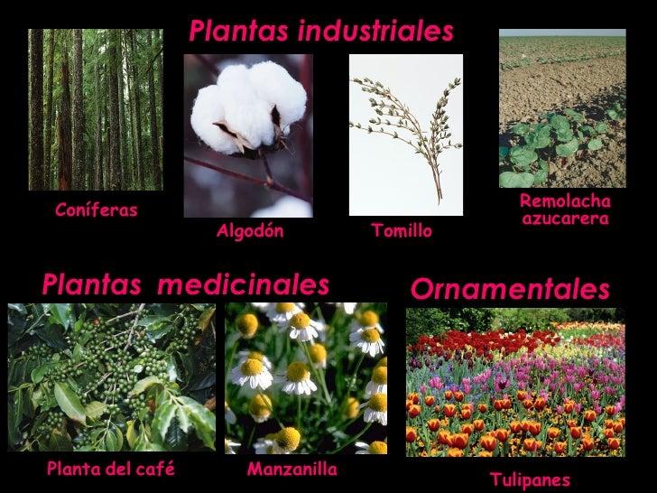 ornamentales plantas industriales plantas medicinales coníferas