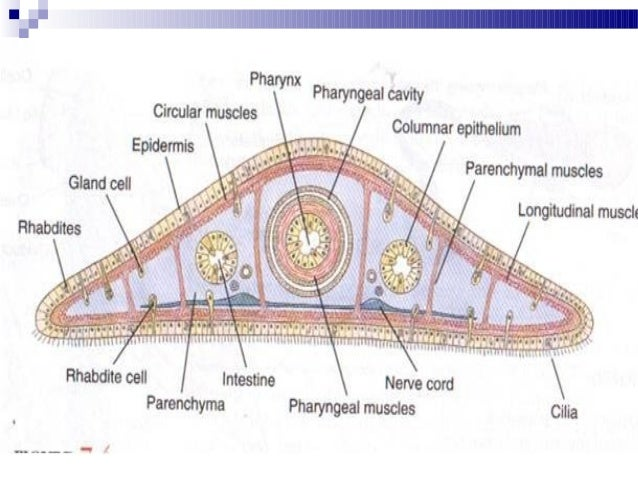 45164 likewise 10941264 likewise Cat 11 further Leeches further Index. on ventral body cavity diagram