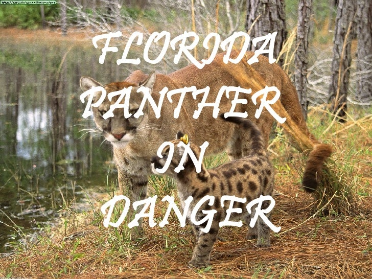 FLORIDA PANTHER  IN   DANGER