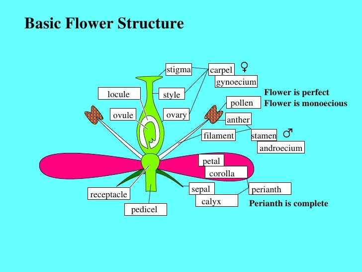 Basic Flower Structure stigma style ovary locule ovule carpel gynoecium pollen anther filament stamen androecium petal cor...