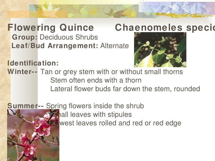 Flowering quince show