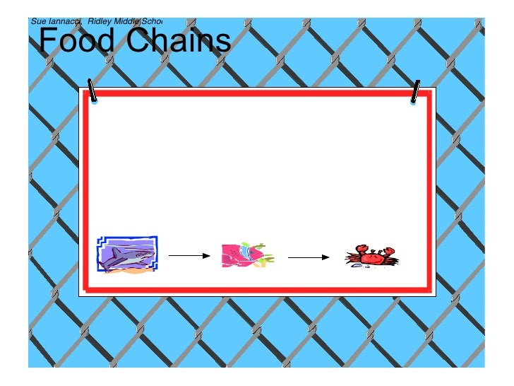 essay on food chains and webs