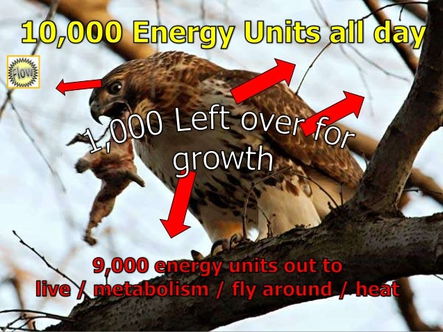 Food Chain Lesson PowerPoint, Energy Flow through Ecosystems