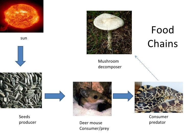 [ Komodo Dragon Food Chain Diagram ] - Best Free Home ...
