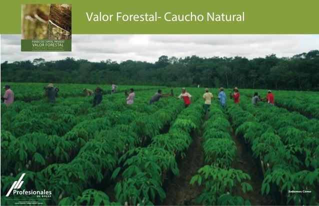 Valor Forestal- Caucho Natural