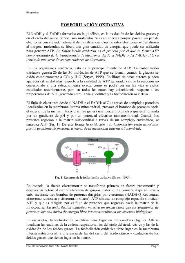 Bioquimica FOSFORILACIÓN OXIDATIVA El NADH y el FADH2 formados en la glicólisis, en la oxidación de los ácidos grasos y en...