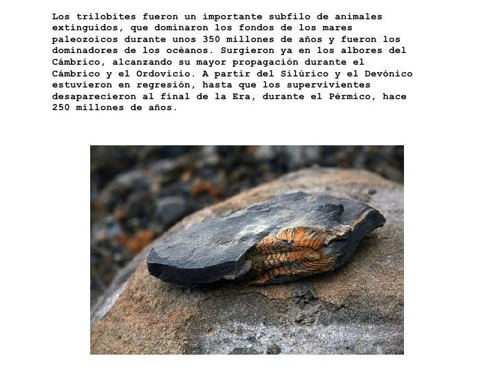 Los trilobites fueron un importante subfilo de animales extinguidos, que dominaron los fondos de los mares paleozoicos dur...