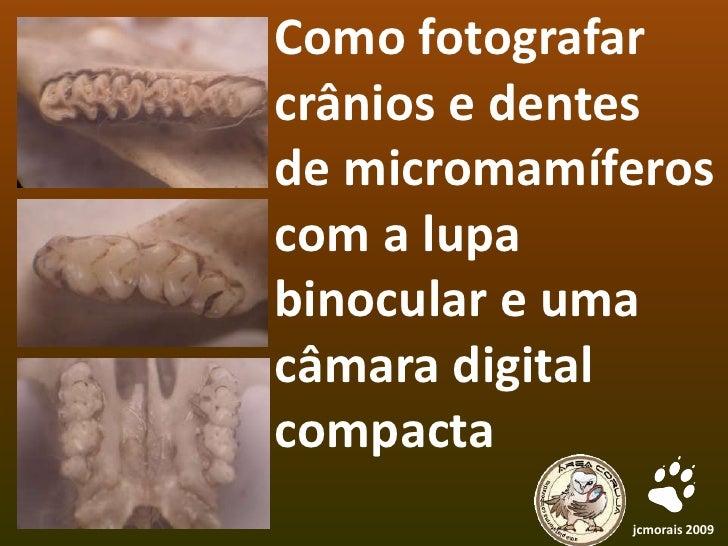 Como fotografar crânios e dentes  de micromamíferos com a lupa binocular e uma câmara digital compacta<br />jcmorais 2009<...