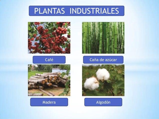 de león 5 café algodón caña de azúcar plantas industriales madera