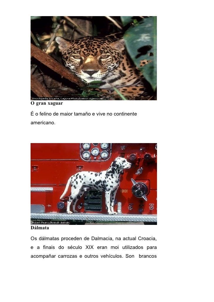 O gran xaguar  É o felino de maior tamaño e vive no continente americano.     Dálmata  Os dálmatas proceden de Dalmacia, n...
