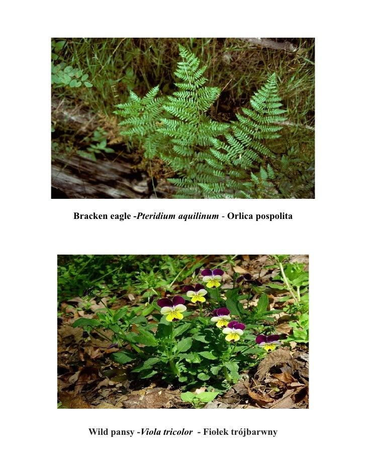 Bracken eagle -Pteridium aquilinum - Orlica pospolita   Wild pansy -Viola tricolor - Fiołek trójbarwny
