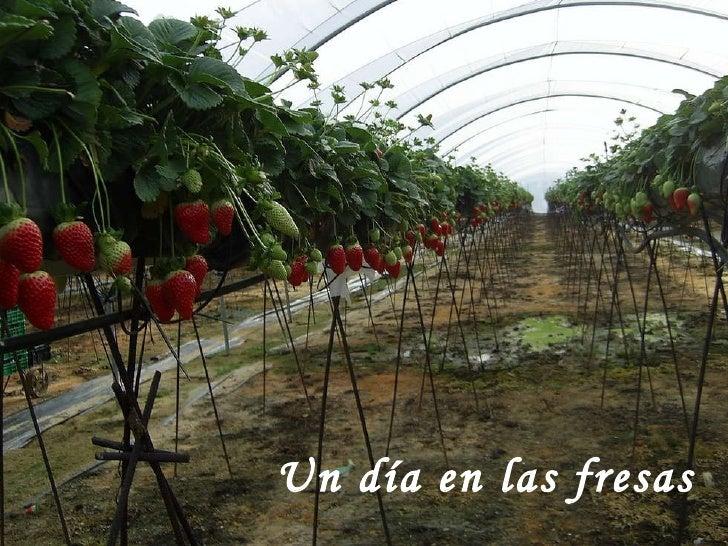 Un día en las fresas