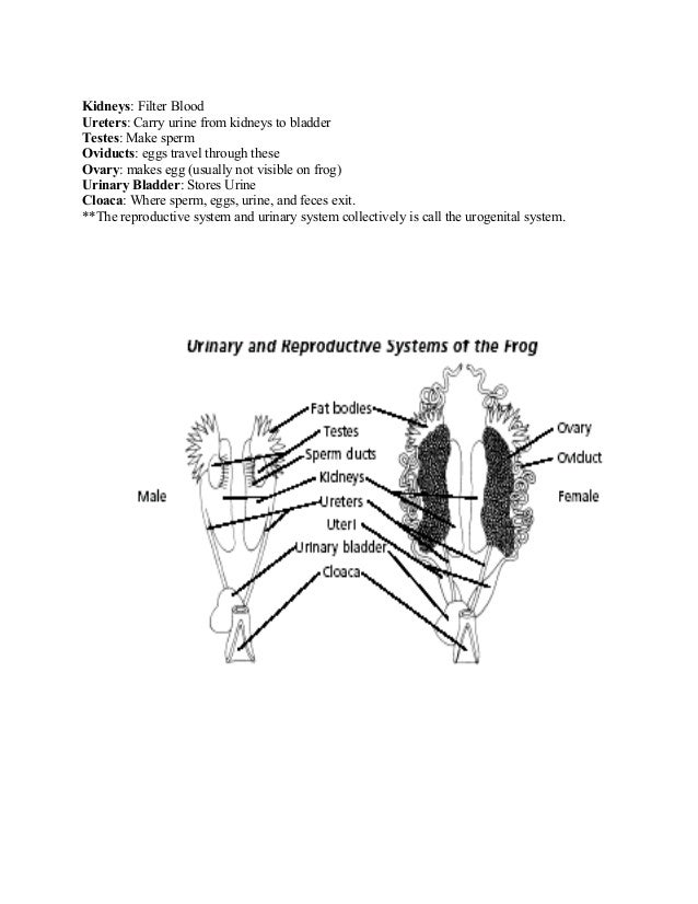 Net frog dissection worksheet answer key