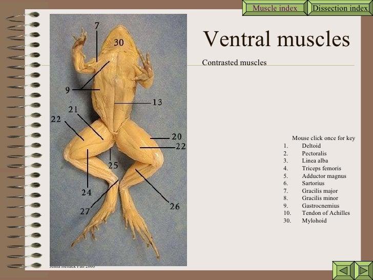 Frog muscle anatomy